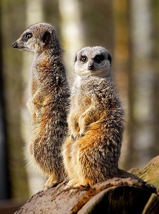 meerkat-2091029_960_720.jpg
