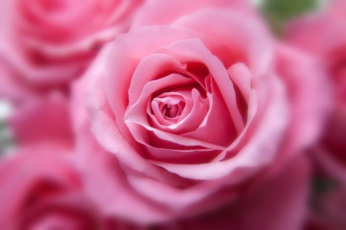 roses-194110_960_720.jpg